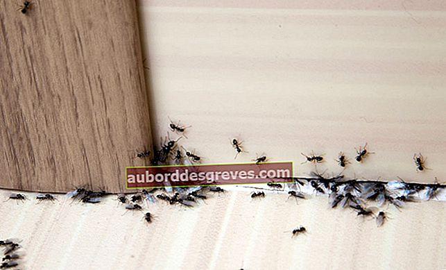 Come combattere contro le formiche in casa?