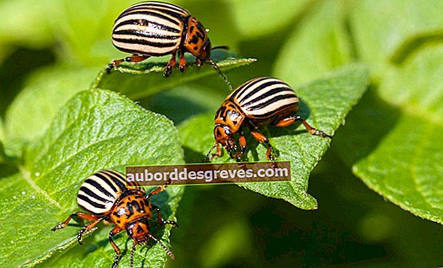 5 Tipps zur Bekämpfung von Colorado-Käfern im Garten