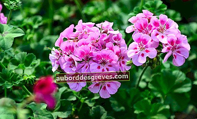 20 Pflanzen wachsen, um das Allergierisiko im Garten zu minimieren