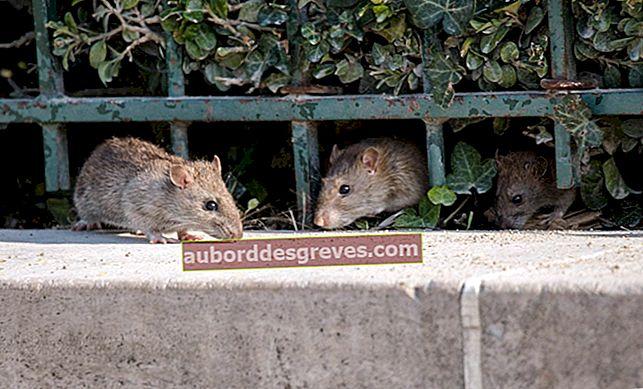 7 Lösungen, um Ratten im Haus loszuwerden