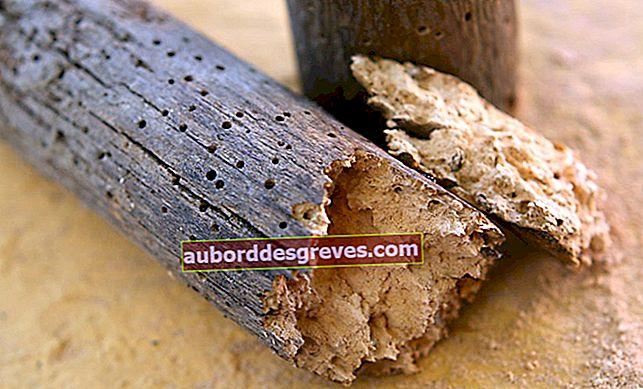 So beseitigen Sie Holzkäfer: effektive Lösungen