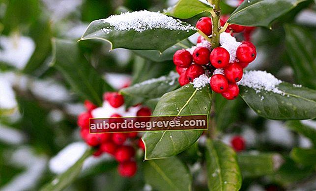 Weihnachtsspecial: Mistel, Stechpalme und traditionelle Weihnachtspflanzen