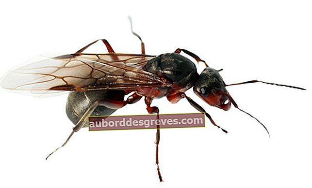 Wie kann man fliegende Ameisen vom Haus fernhalten?