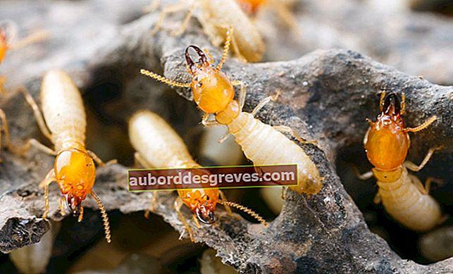 Wie kann man im Haus gegen Termiten kämpfen?