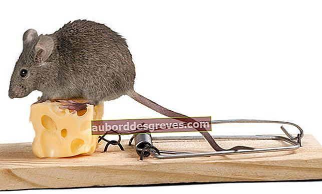 Wie fängt man eine Maus in einem Haus?