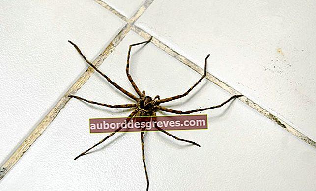 Kämpfe effektiv gegen Spinnen zu Hause